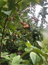 Blog pic. apple 2